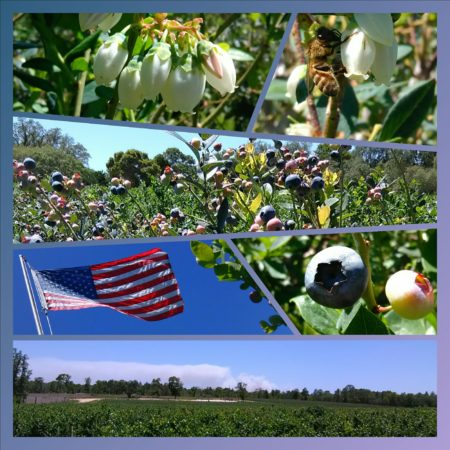 Blueberry picking adventure